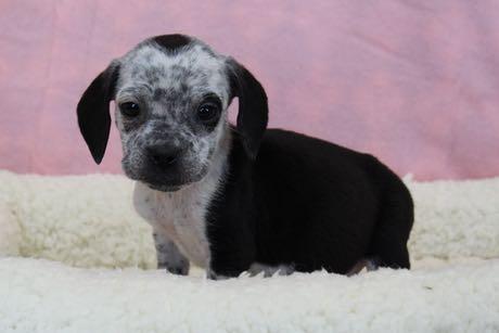 BeagleBulldogFNilly8075