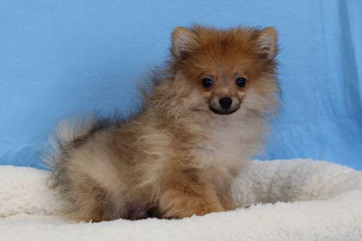 PomeranianMRS