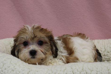 Puppies for Sale : A maze'n Farmyard Havachon