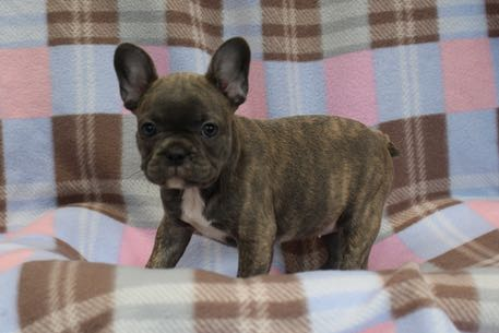 FrenchBulldog2501
