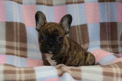 FrenchBulldog4025