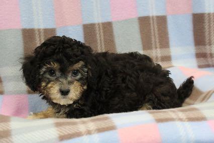 bichon poodle brown