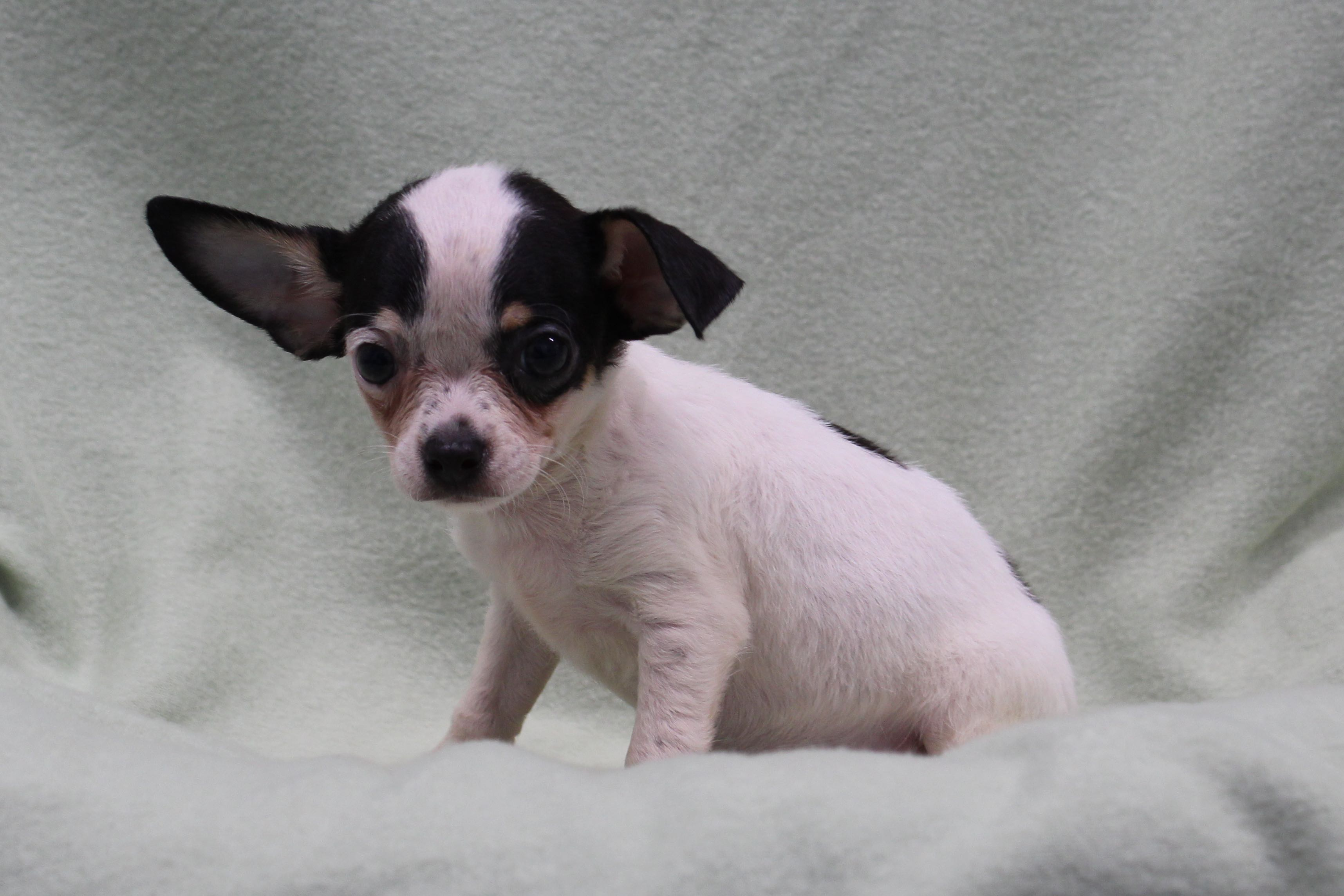 ChihuahuaBlue3817