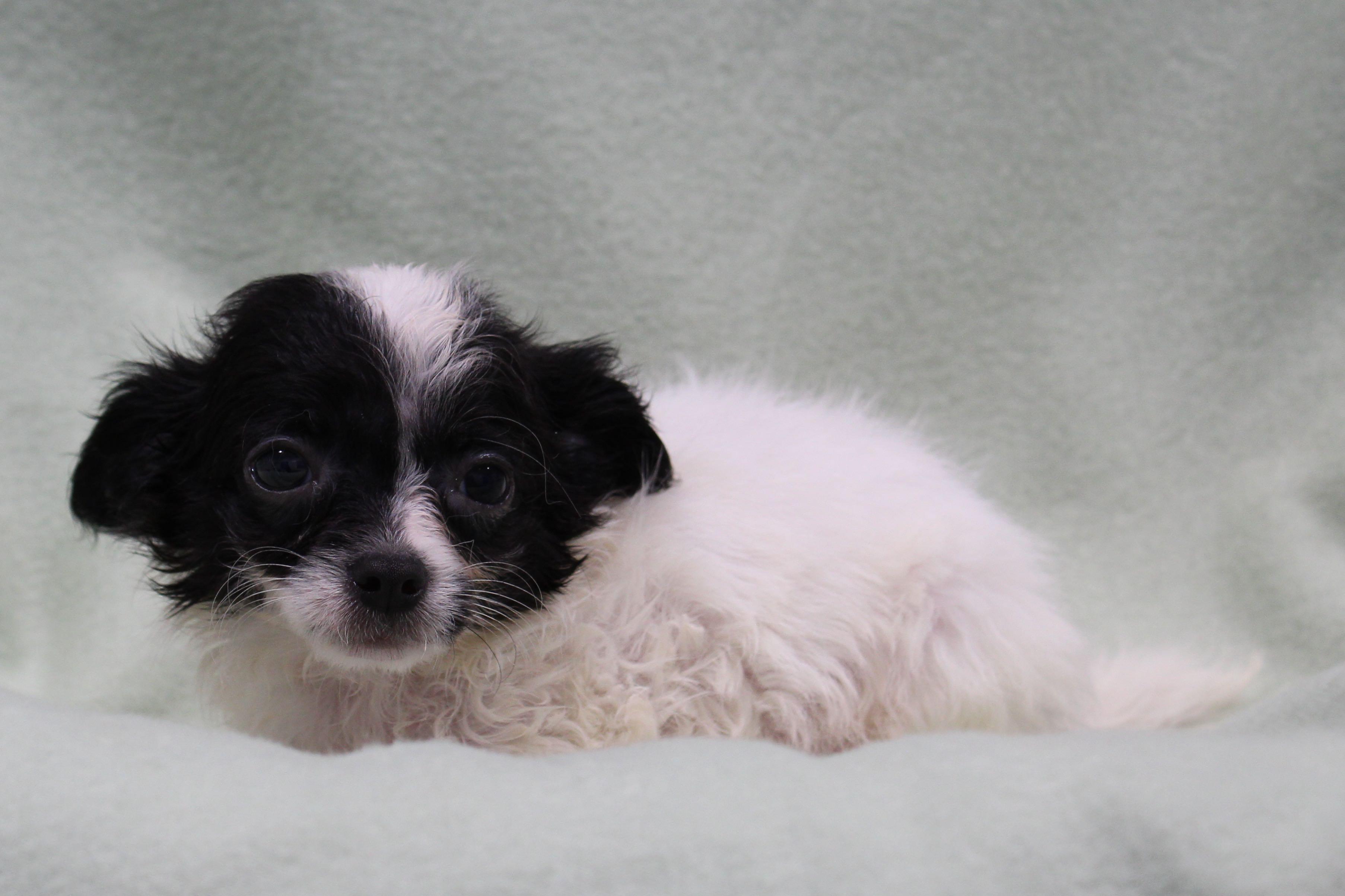 ChihuahuaBlue3821