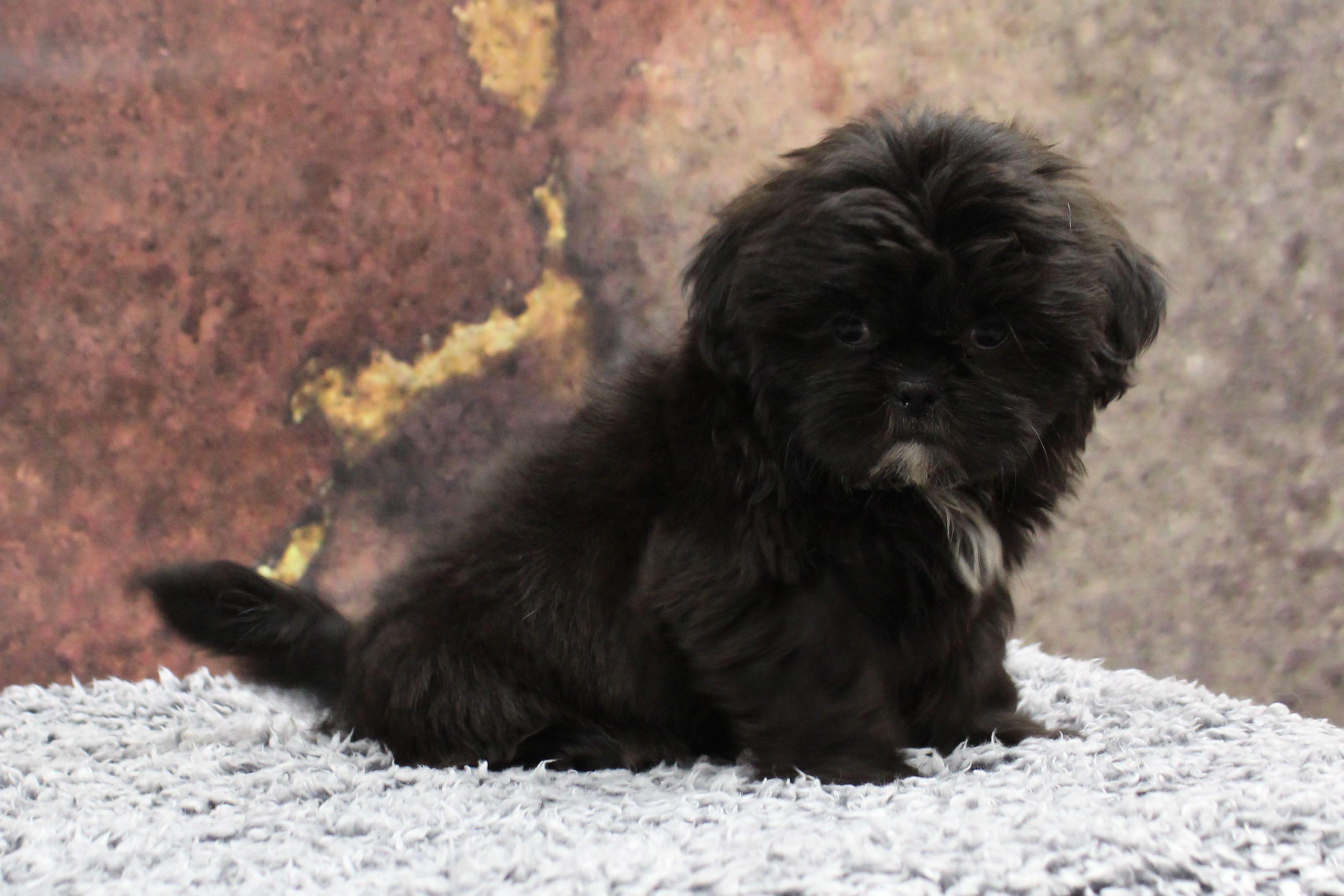 Puppies For Sale A Mazen Farmyard