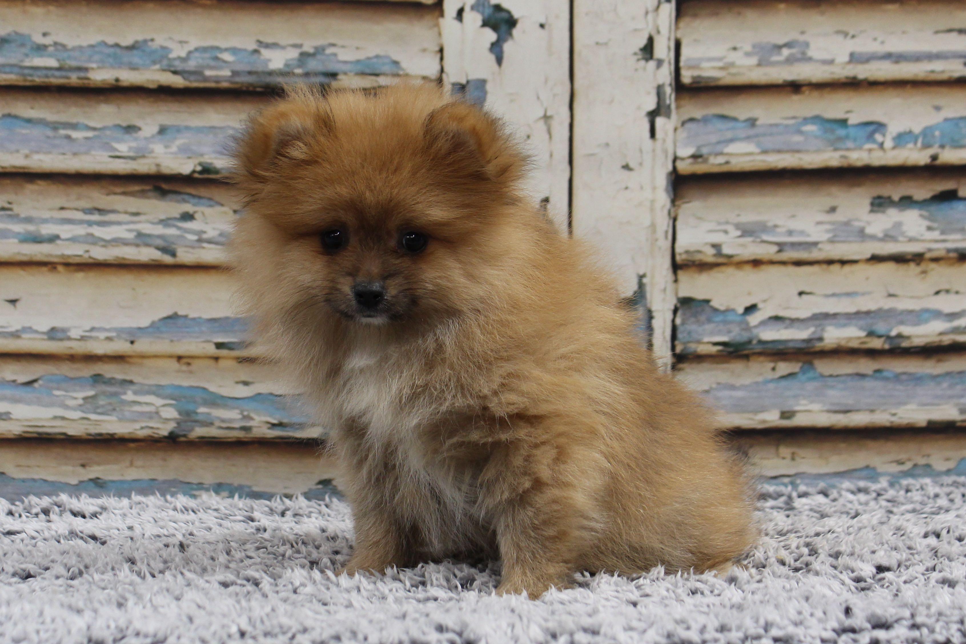 PomeranianHannah4372