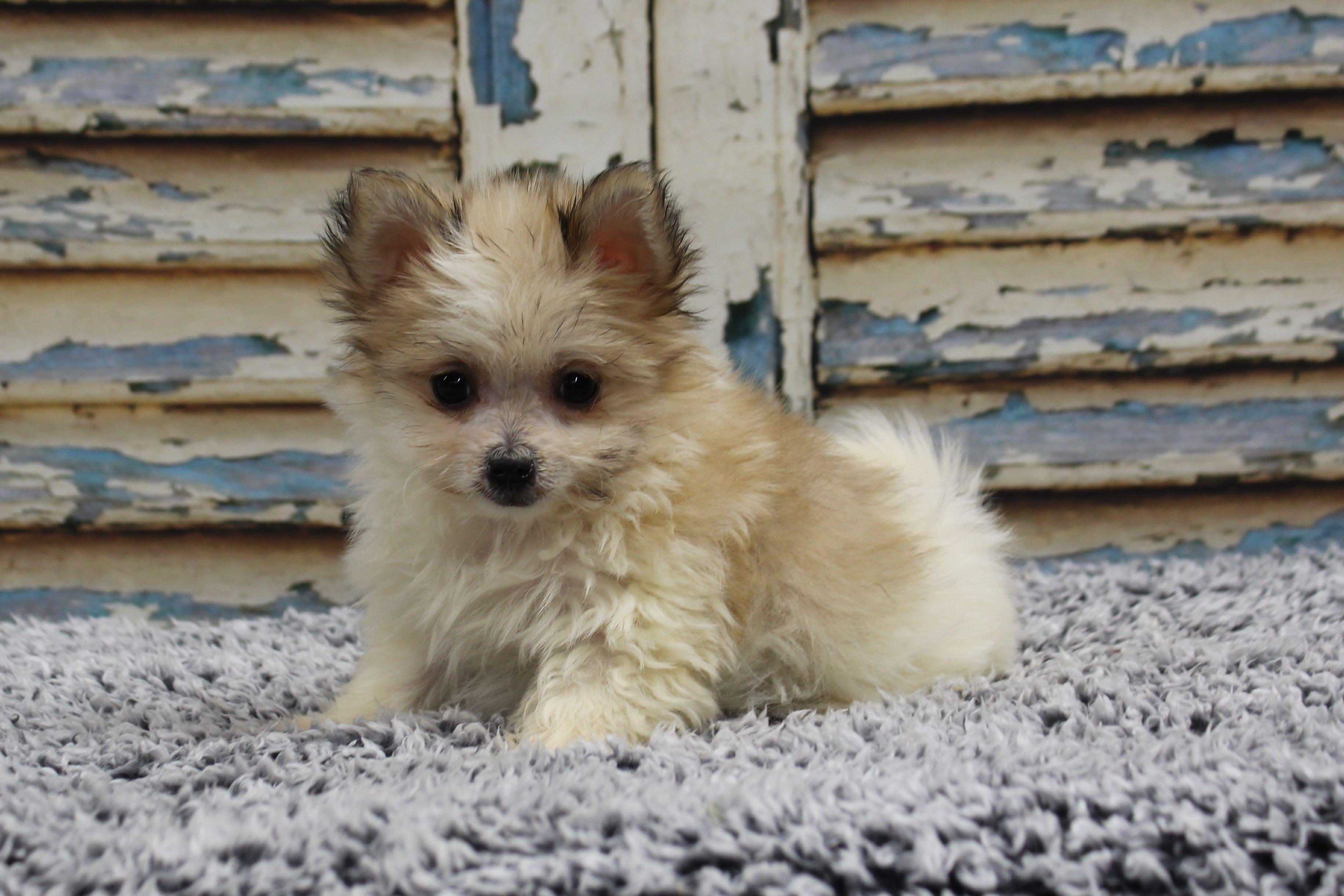 PomeranianMalteseMacy4163