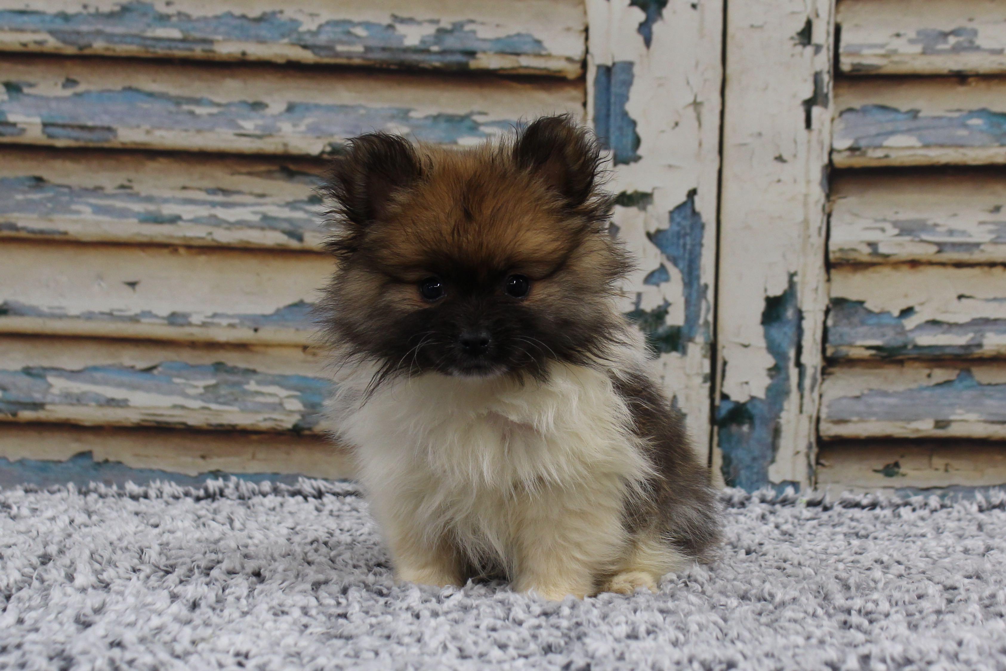 PomeranianMagic4205