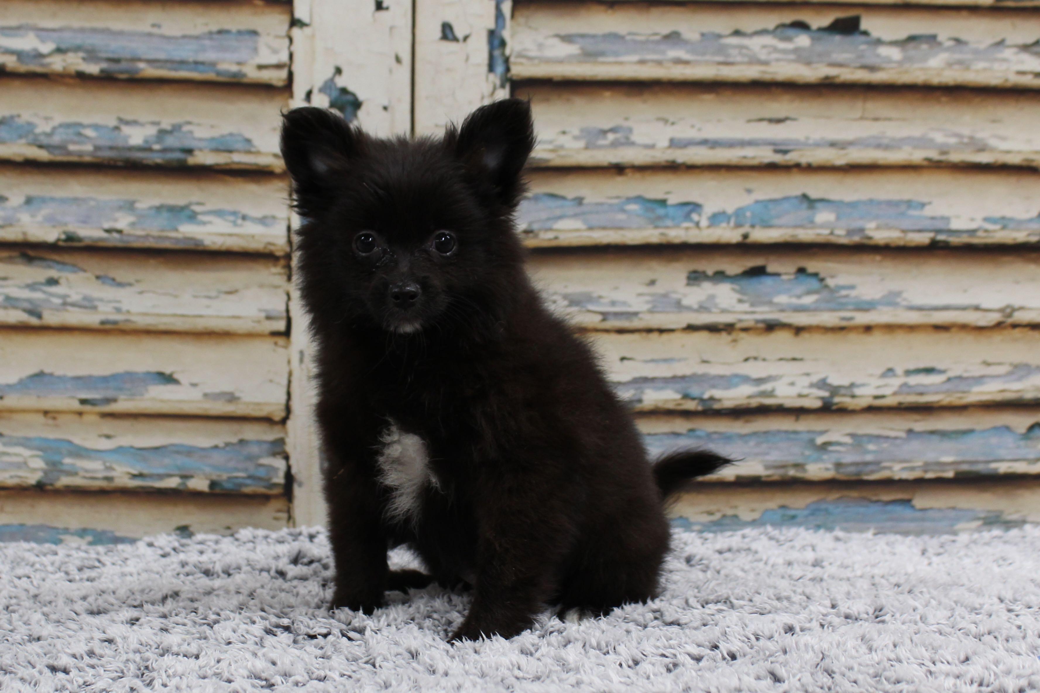 PomeranianPatsy5143