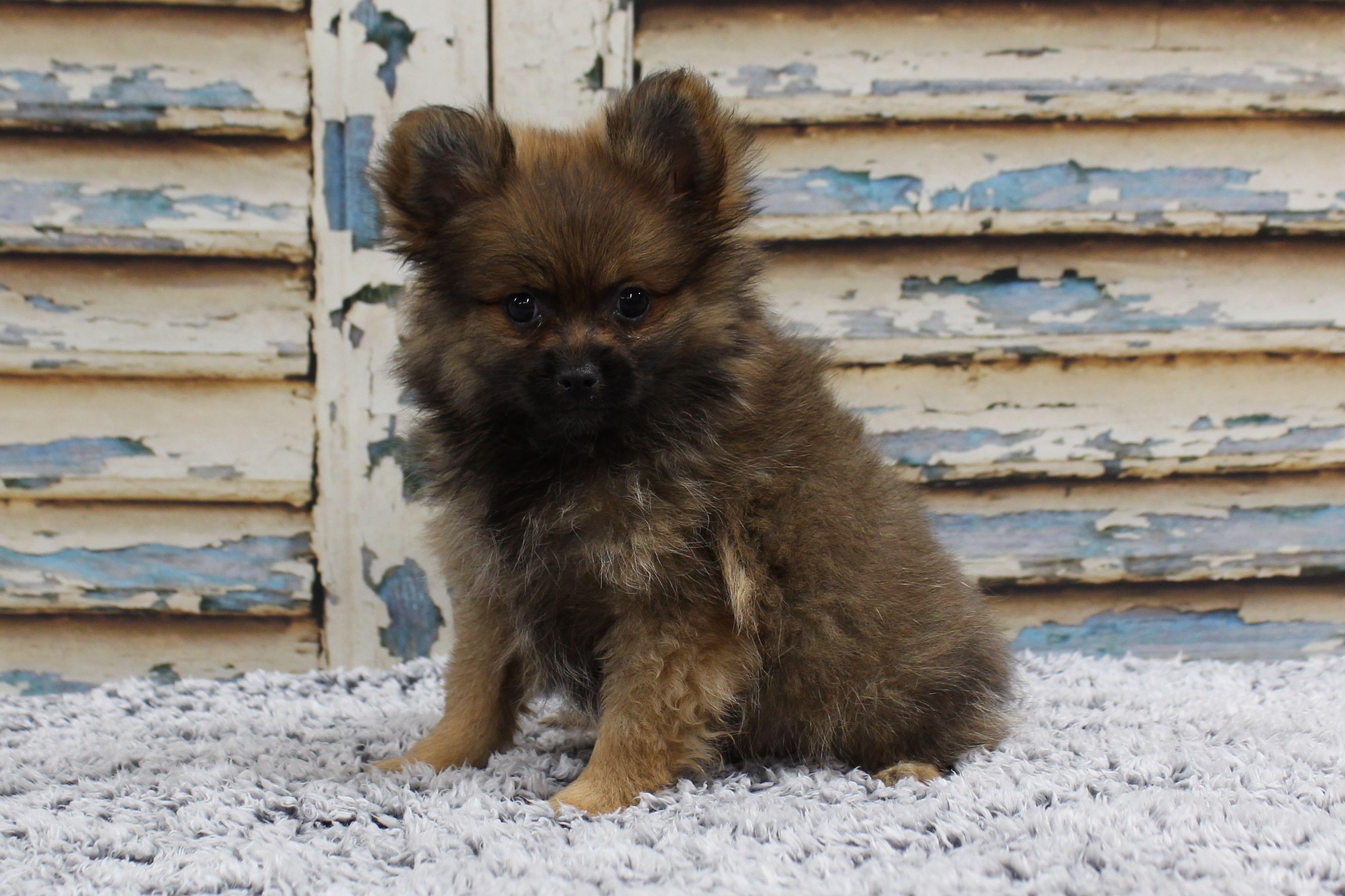 PomeranianPatsy5160