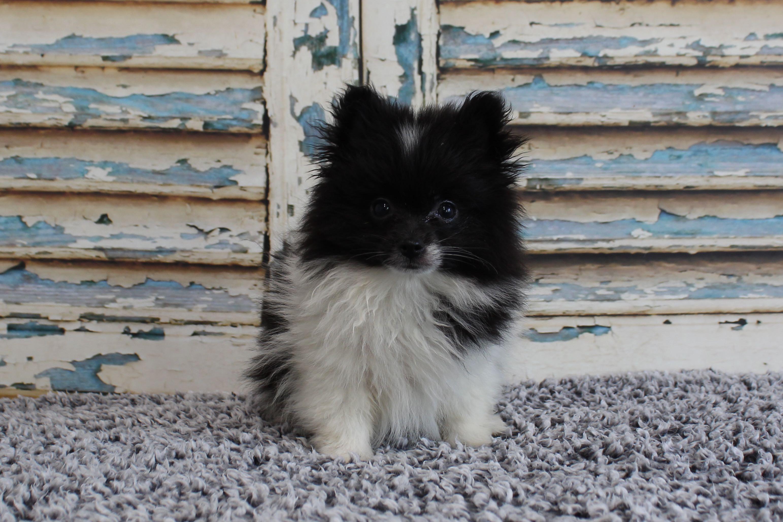 PomeranianPetunia4298
