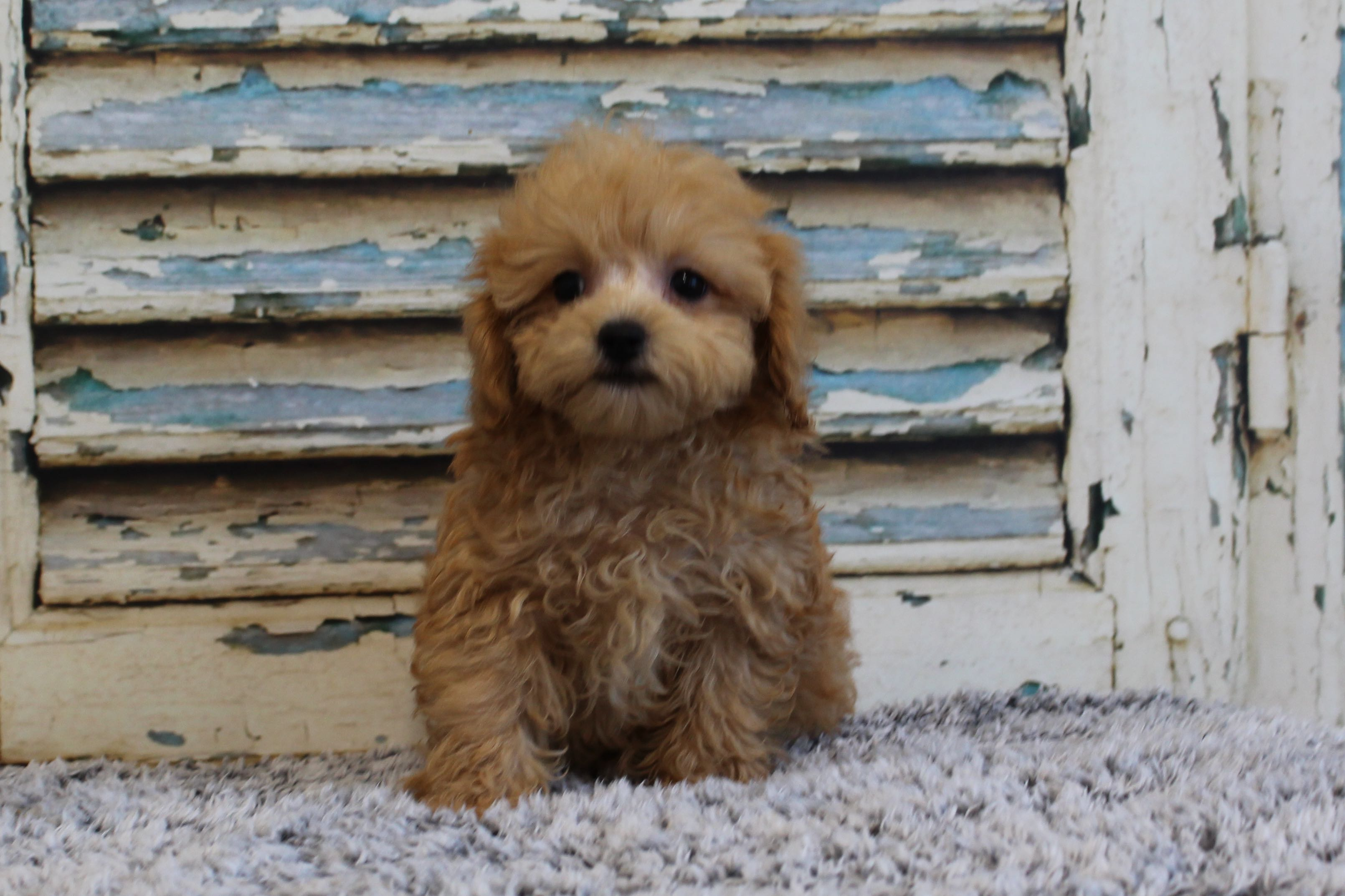 PoodleBichonPolly5224