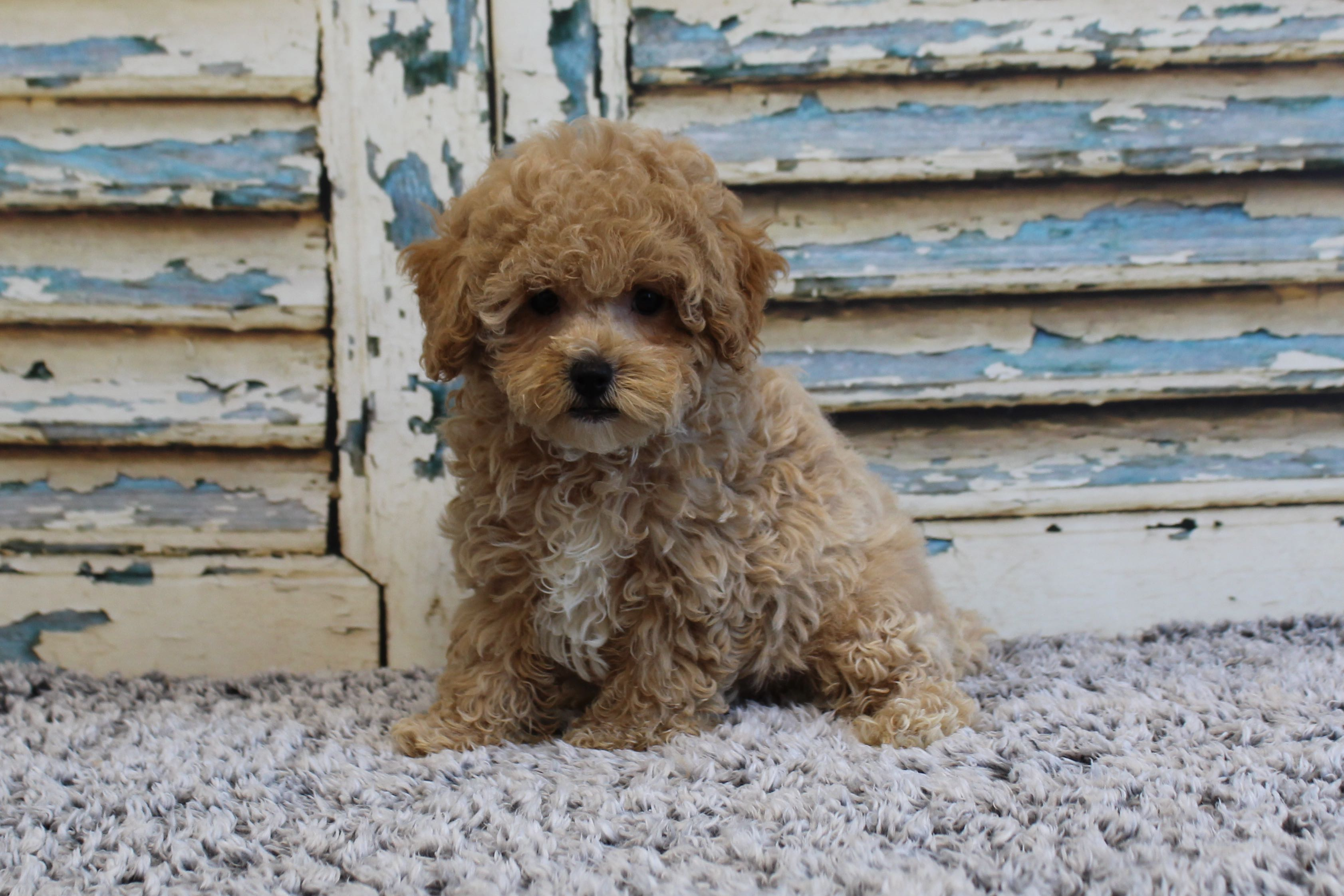 PoodleBichonPolly7823