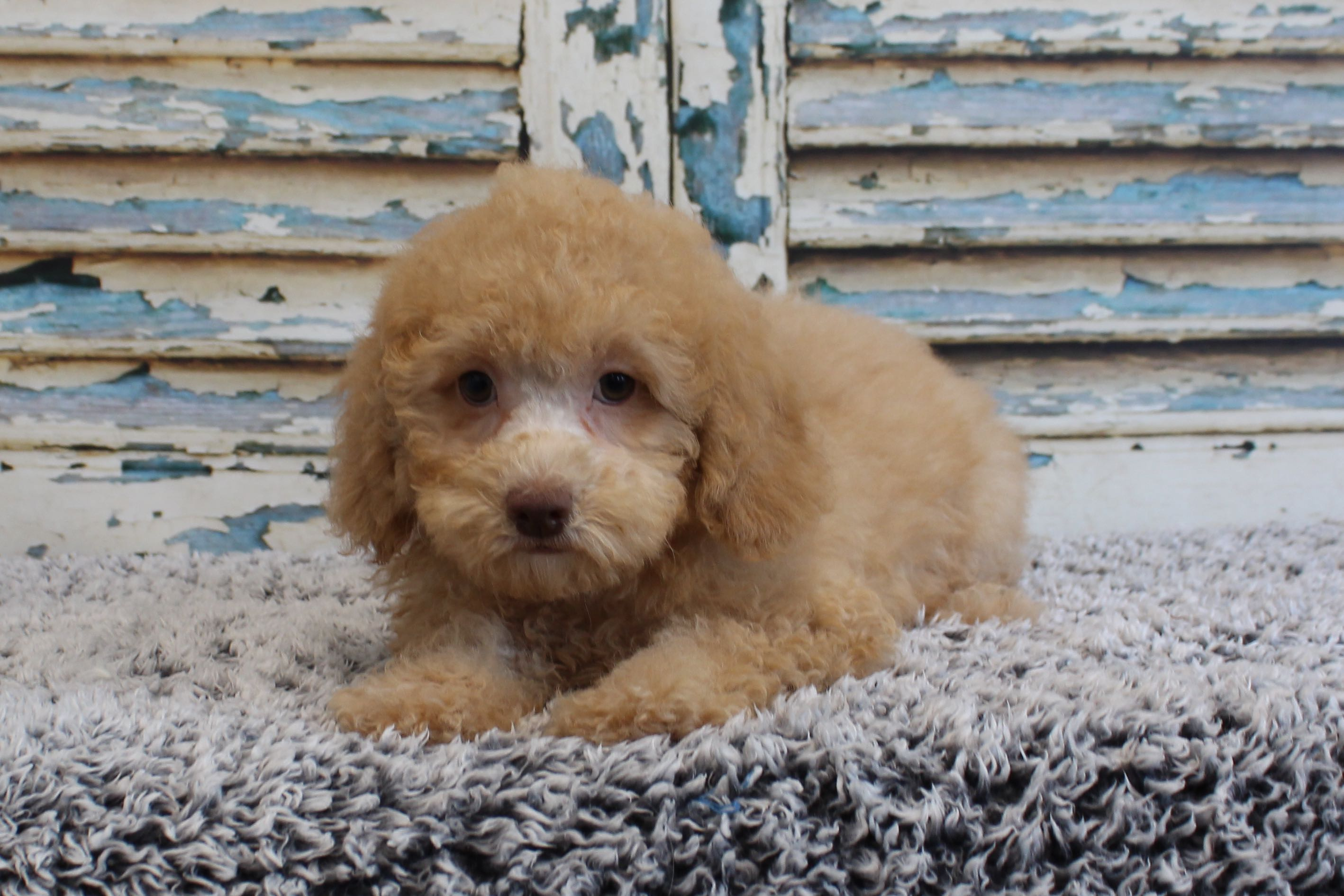 Chocolate Standard Poodle Puppies For Sale Texas