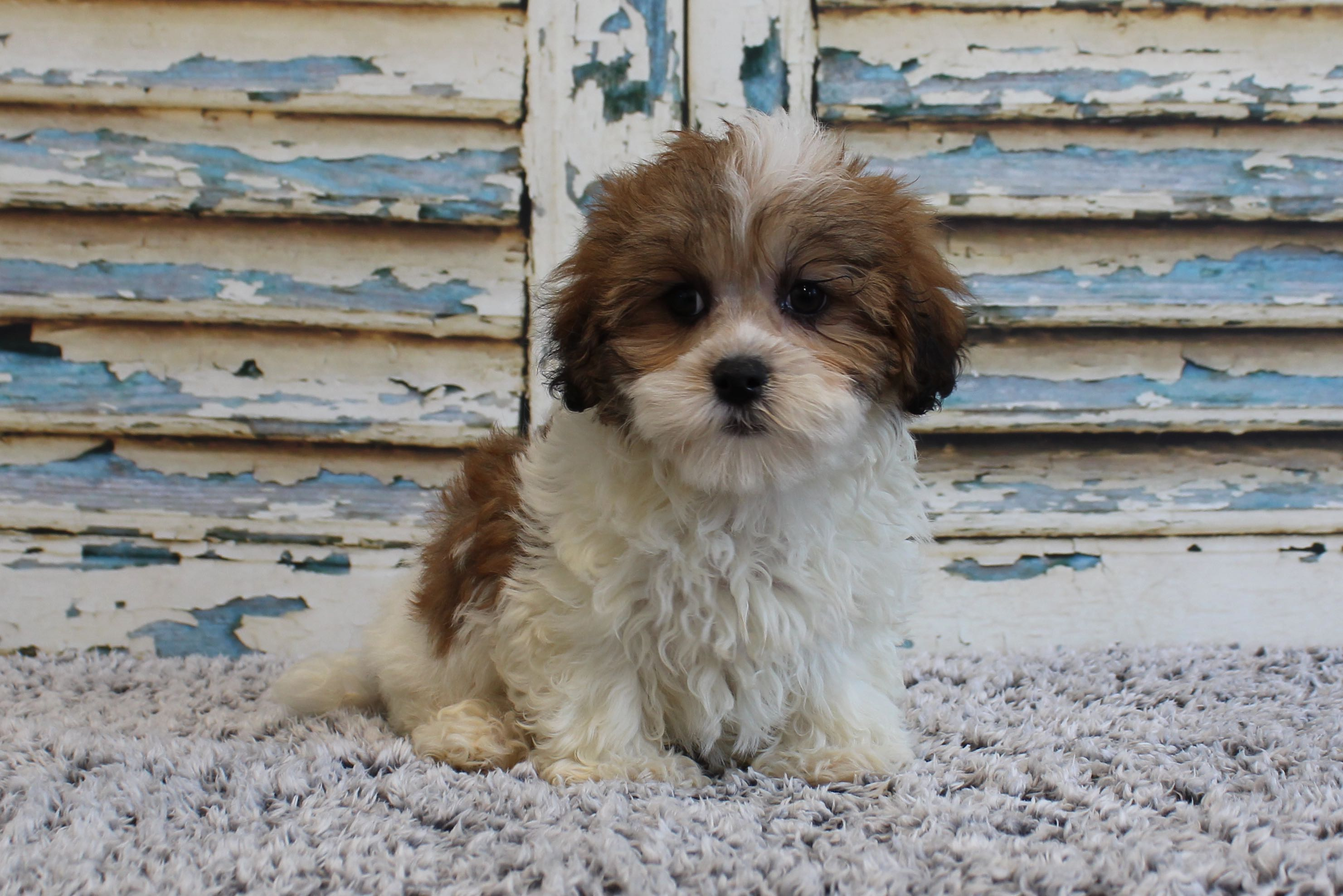 Puppies for Sale : A maze'n Farmyard