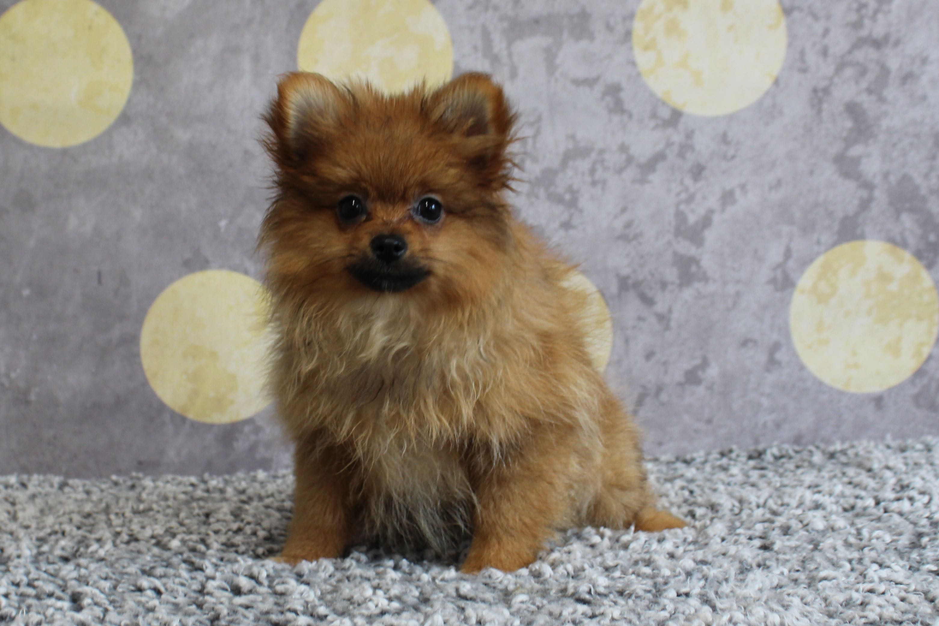 PomeranianHannah7794