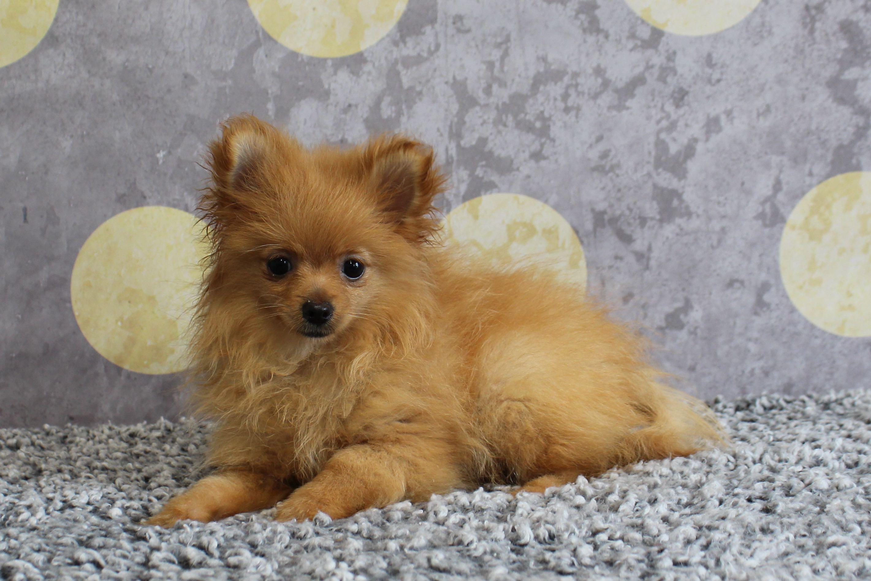 PomeranianHannah7807